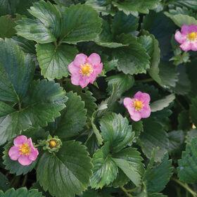 Gasana Strawberry Seeds
