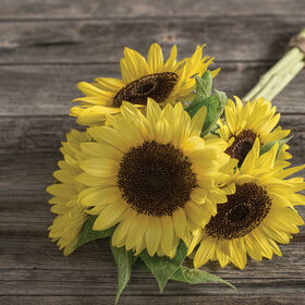 Sunrich Limoncello Summer Tall, Single Stem Sunflowers