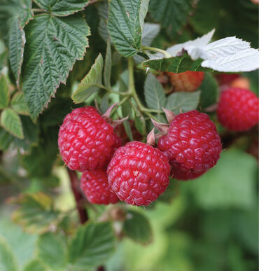 Nova Raspberry