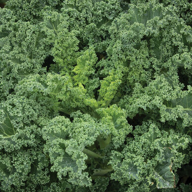 Westlandse Winter Kale