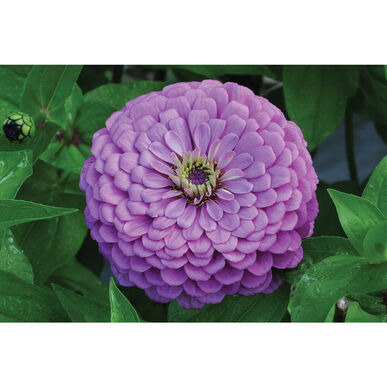 Giant Dahlia Flowered Violet