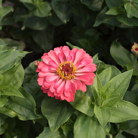 Giant Dahlia Flowered Coral Tall Zinnias