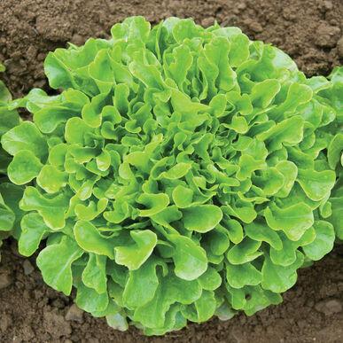Salanova® Green Oakleaf