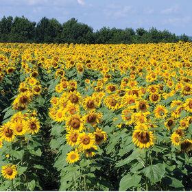 皇家杂交种1121向日葵高向日葵
