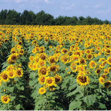 royal hybrid 1121 sunflower seed johnny s selected seeds