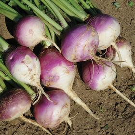 紫顶饲用萝卜