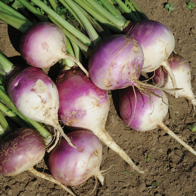 Purple Top Forage Turnips