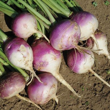 Purple Top Forage Turnips Turnips (Forage)