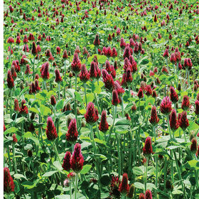 Crimson Clover Clovers