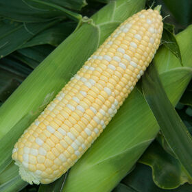 Xtra-Tender 277A Sweet Corn