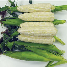 Sugar Pearl Sweet Corn