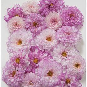 Double Click Bicolor Pink Cosmos