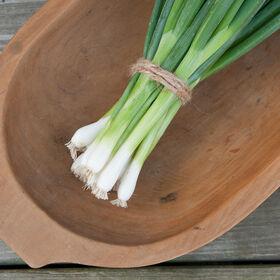 常绿哈代白色聚束洋葱