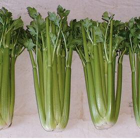 Conquistador Celery