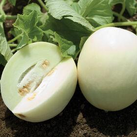 亲爱的白色哈密瓜