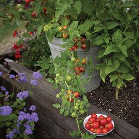 整洁对樱桃番茄