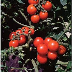 华盛顿樱桃西红柿
