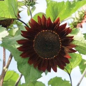 Moulin Rouge Tall, Branching Sunflowers