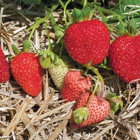 阿尔比恩草莓裸根植物