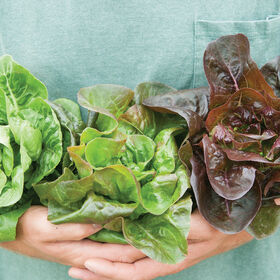 Little Gem-Type Trio Bibb Lettuce