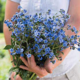 Chinese Forget-Me-Not Cynoglossum