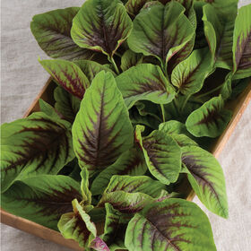 Red Leaf Vegetable Amaranth Specialty Greens