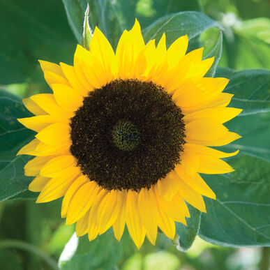 高大的向日葵