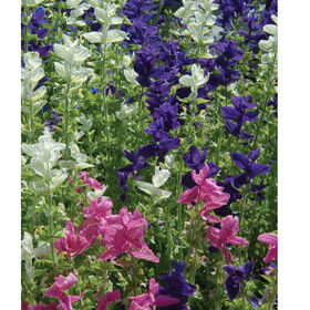 Marble Arch Mix II Salvia