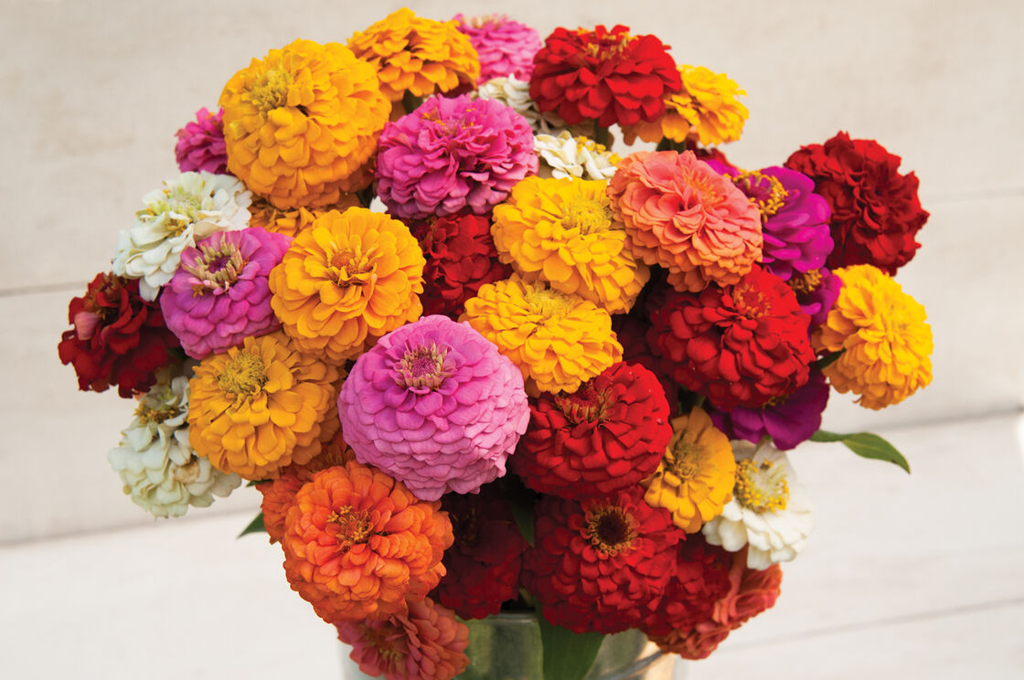 Oklahoma Mix Improved Zinnia | Johnny's Selected Seeds on