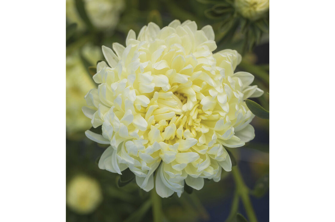 Tower Yellow China Aster Seed Johnnys Selected Seeds