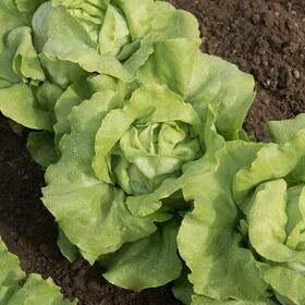 Sylvesta Butterhead Lettuce (Boston)