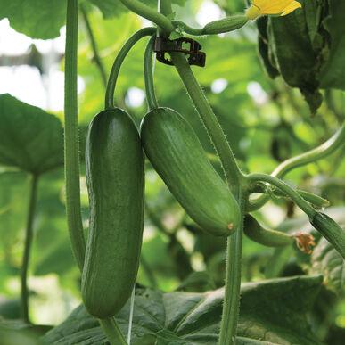 Iznik Seedless and Thin-skinned Cucumbers