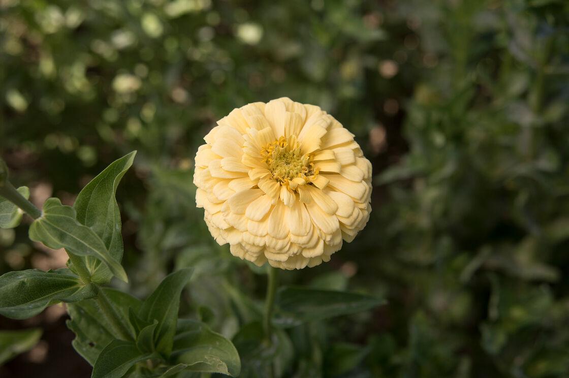 Giant dahlia flowered creamy yellow zinnia johnnys selected seeds giant dahlia flowered creamy yellow tall zinnias izmirmasajfo