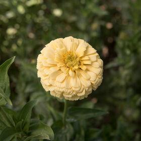 巨大的大丽花Zinnias花奶油黄色高