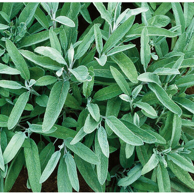 Common Sage Organic Seed Johnny S Selected Seeds