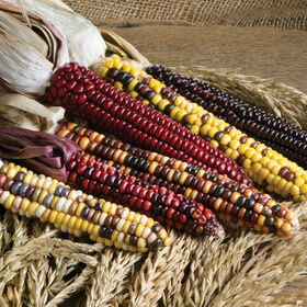 Painted Mountain Dry Corn