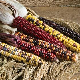 画山干玉米