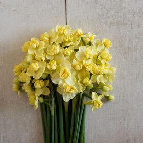 Yellow Cheerfulness Narcissus