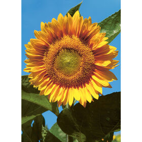 Sunrich Gold