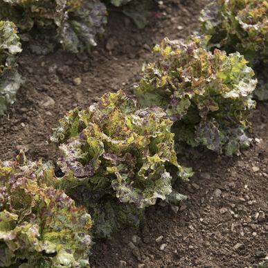 Mottistone Summer Crisp Lettuce (Batavia)