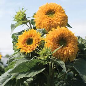 金黄的两倍高的向日葵