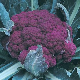标准花椰菜