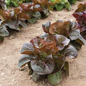 Rosaine Bibb Lettuce