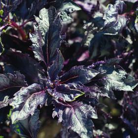 紫色罗勒褶边