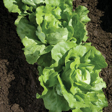 Nancy Butterhead Lettuce (Boston)