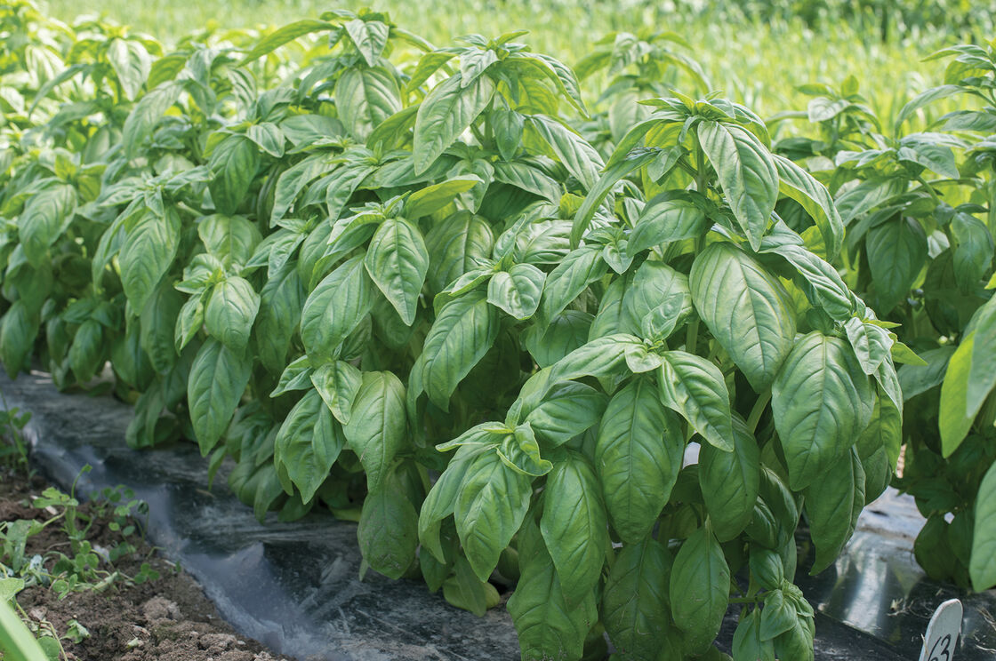 Genovese Compact, Improved - Basil Seed | Johnny's ...