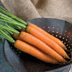 亚亚早期胡萝卜