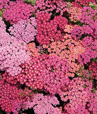 Achillea, Cherries Jubilee 1 Order ( 4 Plants) Perennial, Perennial Flowers, Perennial Flower Plants, Perennial Plants, Flower Plants, Flowers