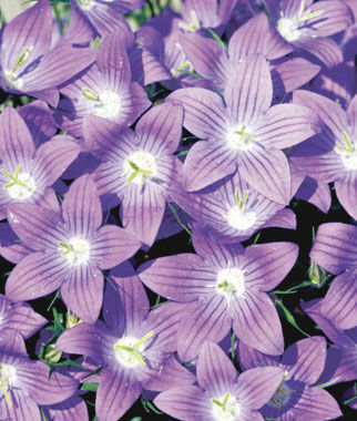 Campanula, Meteora 1 Pkt. (25 seeds) Perennial, Perennial Flowers, Perennial Flower Seeds, Flower Seeds, Perennial Seeds, Flowers, Seeds
