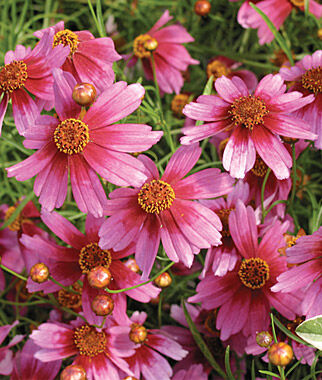 Coreopsis, Heaven's Gate 1 Plant Perennial, Perennial Flowers, Perennial Flower Plants, Perennial Plants, Flower Plants, Flowers